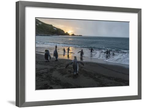 King Penguins (Aptenodytes Patagonicus) Returning to the Sea, Gold Harbour, Polar Regions-Michael Nolan-Framed Art Print