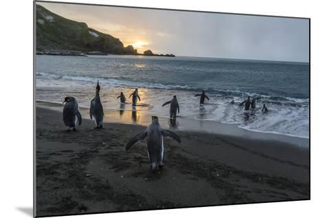 King Penguins (Aptenodytes Patagonicus) Returning to the Sea, Gold Harbour, Polar Regions-Michael Nolan-Mounted Photographic Print