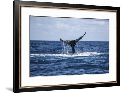 A Humpback Whale Raises its Tail as it Dives into the Atlantic Ocean-Stocktrek Images-Framed Art Print