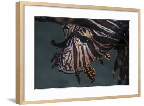 Close-Up of a Lionfish in Komodo National Park, Indonesia-Stocktrek Images-Framed Art Print
