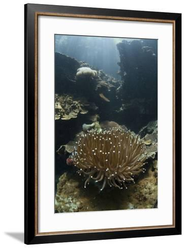 A Heliofungia Coral Colony Grows on a Reef Inside Palau's Lagoon-Stocktrek Images-Framed Art Print