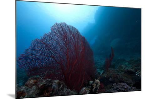 Large Red Gorgonian Sea Fan on a Fijian Reef-Stocktrek Images-Mounted Photographic Print