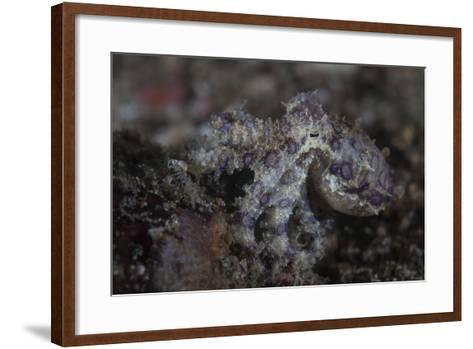 A Blue-Ringed Octopus Lings to the Seafloor in Lembeh Strait, Indonesia-Stocktrek Images-Framed Art Print