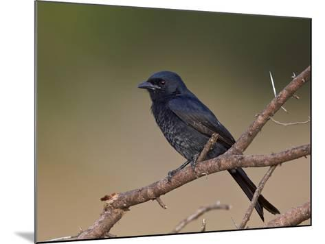 Fork-Tailed Drongo (Dicrurus Adsimilis), Kruger National Park, South Africa, Africa-James Hager-Mounted Photographic Print