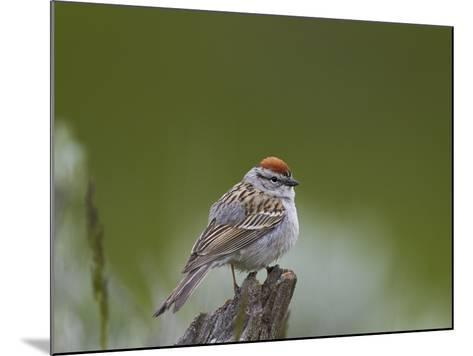 American Tree Sparrow (Spizella Arborea), Yellowstone National Park, Wyoming, U.S.A.-James Hager-Mounted Photographic Print