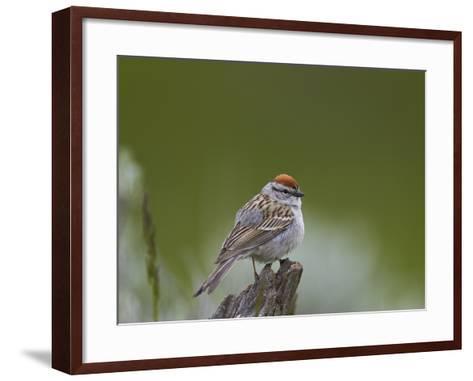 American Tree Sparrow (Spizella Arborea), Yellowstone National Park, Wyoming, U.S.A.-James Hager-Framed Art Print