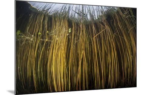 Colorful Reeds Grow to the Surface Along the Edge of a Freshwater Lake-Stocktrek Images-Mounted Photographic Print