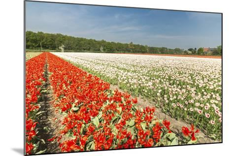 The Red and White Tulips Colour the Landscape in Spring, Netherlands-Roberto Moiola-Mounted Photographic Print