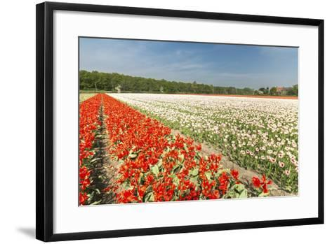 The Red and White Tulips Colour the Landscape in Spring, Netherlands-Roberto Moiola-Framed Art Print