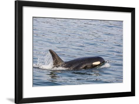 An Adult Killer Whale (Orcinus Orca) Surfacing in Glacier Bay National Park, Southeast Alaska-Michael Nolan-Framed Art Print