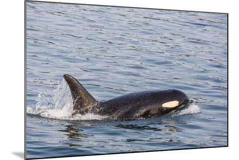 An Adult Killer Whale (Orcinus Orca) Surfacing in Glacier Bay National Park, Southeast Alaska-Michael Nolan-Mounted Photographic Print