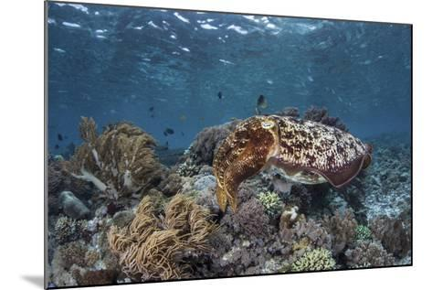 A Broadclub Cuttlefish Swims Above a Diverse Reef in Indonesia-Stocktrek Images-Mounted Photographic Print