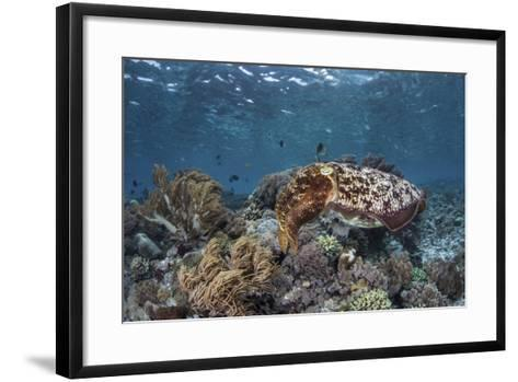 A Broadclub Cuttlefish Swims Above a Diverse Reef in Indonesia-Stocktrek Images-Framed Art Print