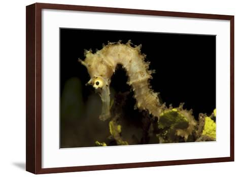 Side View of a Pale Cream Colored Thorny Seahorse-Stocktrek Images-Framed Art Print
