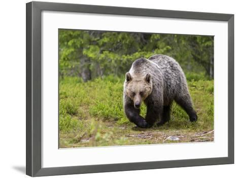 Brown Bear (Ursus Arctos), Finland, Scandinavia, Europe-Andrew Sproule-Framed Art Print
