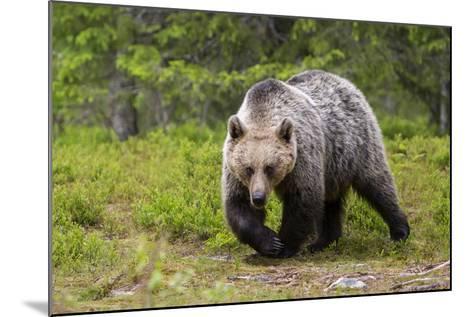 Brown Bear (Ursus Arctos), Finland, Scandinavia, Europe-Andrew Sproule-Mounted Photographic Print
