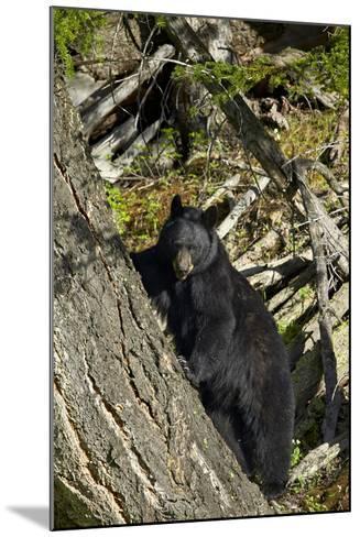 Black Bear (Ursus Americanus), Yellowstone National Park, Wyoming, United States of America-James Hager-Mounted Photographic Print