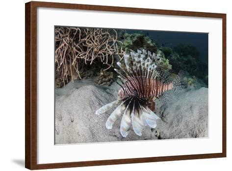 A Lionfish Swims on a Reef in Komodo National Park, Indonesia-Stocktrek Images-Framed Art Print