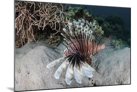 A Lionfish Swims on a Reef in Komodo National Park, Indonesia-Stocktrek Images-Mounted Photographic Print