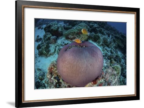 Pink Anemonefish Swim Close to their Host Anemone-Stocktrek Images-Framed Art Print