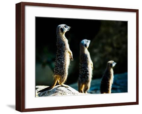 Meerkats (Suricata Suricatta) in Captivity, United Kingdom, Europe-John Alexander-Framed Art Print