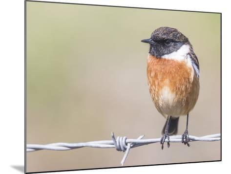Stonechat (Saxicola Rubicola), Middlesborough, England, United Kingdom, Europe-David Gibbon-Mounted Photographic Print