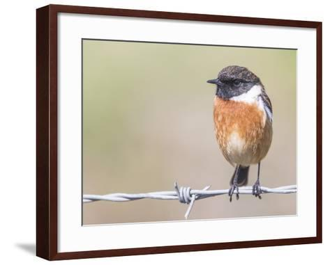 Stonechat (Saxicola Rubicola), Middlesborough, England, United Kingdom, Europe-David Gibbon-Framed Art Print