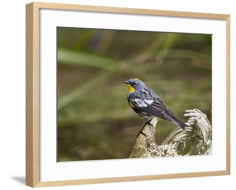Audubon's Yellow-Rumped Warbler (Dendroica Coronata Auduboni), Yellowstone National Park, Wyoming-James Hager-Framed Art Print