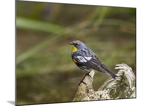 Audubon's Yellow-Rumped Warbler (Dendroica Coronata Auduboni), Yellowstone National Park, Wyoming-James Hager-Mounted Photographic Print