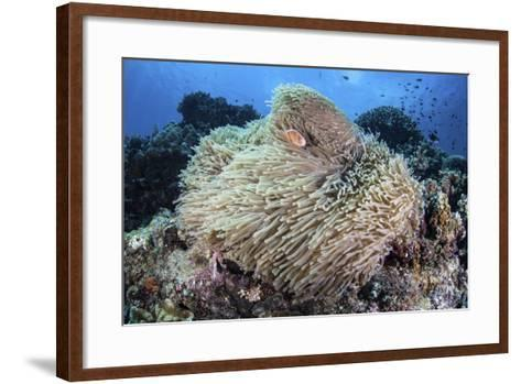 A Pink Anemonefish Swims Among the Tentacles of its Host Anemone-Stocktrek Images-Framed Art Print