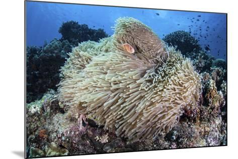 A Pink Anemonefish Swims Among the Tentacles of its Host Anemone-Stocktrek Images-Mounted Photographic Print