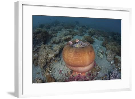 A Colorful Magnificent Sea Nemone Hosts Pink Anemonefish-Stocktrek Images-Framed Art Print