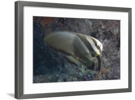 Longfin Spadefish, Beqa Lagoon, Fiji-Stocktrek Images-Framed Art Print