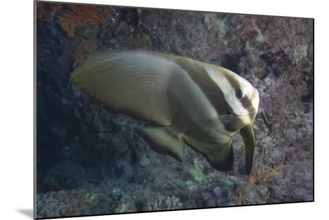 Longfin Spadefish, Beqa Lagoon, Fiji-Stocktrek Images-Mounted Photographic Print