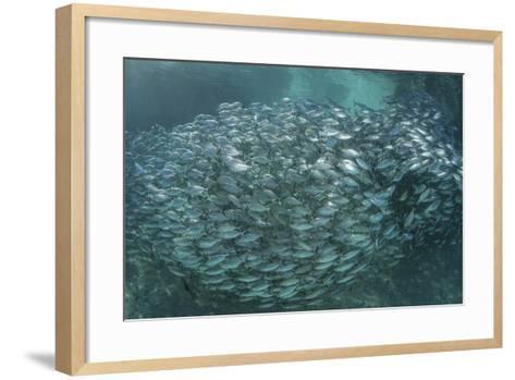 A Large School of Scad in the Solomon Islands-Stocktrek Images-Framed Art Print