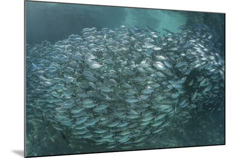 A Large School of Scad in the Solomon Islands-Stocktrek Images-Mounted Photographic Print