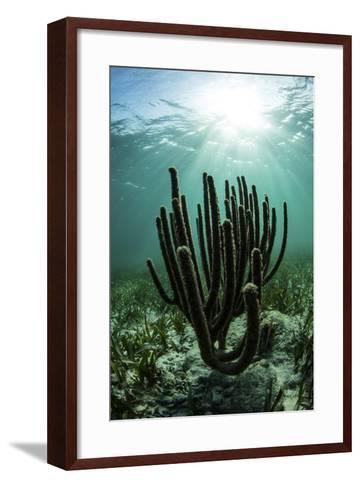 Gorgonians Grow on a Shallow Reef Off the Coast of Belize-Stocktrek Images-Framed Art Print