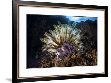 A Colorful Crinoid in Komodo National Park, Indonesia-Stocktrek Images-Framed Art Print