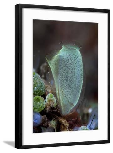 A Colorful Tunicate Grows on a Reef in Lembeh Strait, Indonesia-Stocktrek Images-Framed Art Print