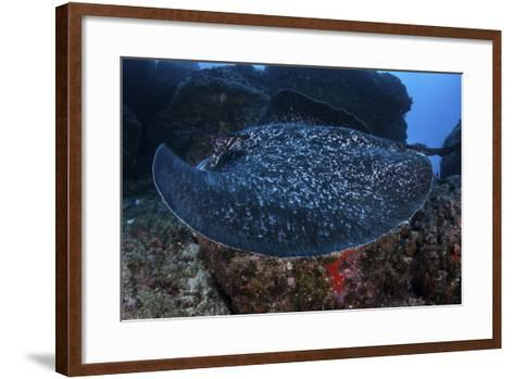 A Large Black-Blotched Stingray Swims over the Rocky Seafloor-Stocktrek Images-Framed Art Print