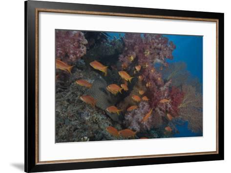 Scalefin Anthias Fish in Beqa Lagoon, Fiji-Stocktrek Images-Framed Art Print