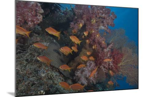 Scalefin Anthias Fish in Beqa Lagoon, Fiji-Stocktrek Images-Mounted Photographic Print
