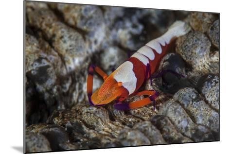 A Colorful Emperor Shrimp Sits Atop a Sea Cucumber-Stocktrek Images-Mounted Photographic Print