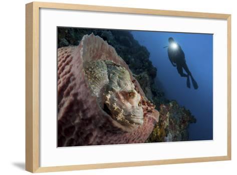 A Diver Looks on at a Tassled Scorpionfish Lying in a Barrel Sponge-Stocktrek Images-Framed Art Print