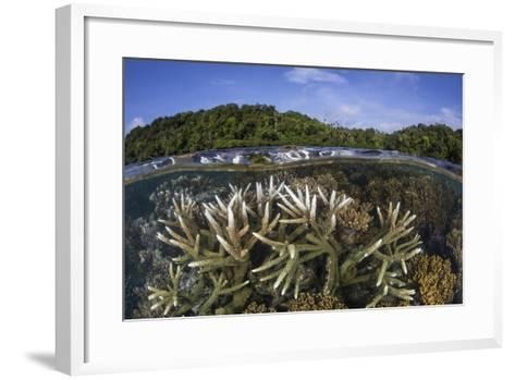 A Slightly Bleached Staghorn Coral Colony in the Solomon Islands-Stocktrek Images-Framed Art Print