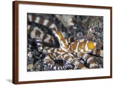 A Wonderpus Octopus in Lembeh Strait, Indonesia-Stocktrek Images-Framed Art Print