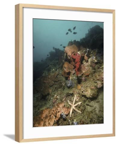 Starfish in a Diverse Reef, Lembeh Strait, Indonesia-Stocktrek Images-Framed Art Print