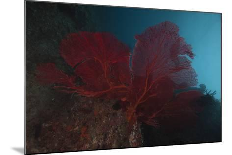 A Large Red Gorgonian Sea Fan, Beqa Lagoon, Fiji-Stocktrek Images-Mounted Photographic Print