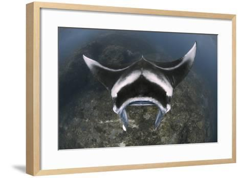 A Reef Manta Ray Swimming Above a Reef Top, Indonesia-Stocktrek Images-Framed Art Print