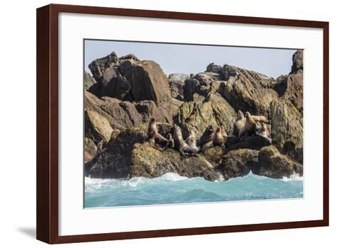 Steller Sea Lion (Eumetopias Jubatus), Haida Gwaii (Queen Charlotte Islands), British Columbria-Michael Nolan-Framed Art Print